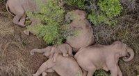 Mieliau nebūna: užfiksavo jaukiai miegančius per Kiniją keliaujančius dramblius