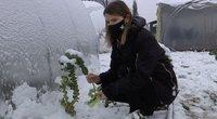 Sniegas ir šaltukas – ne kliūtis: gyventojai džiaugiasi šviežių daržovių derliumi (nuotr. stop kadras)
