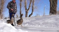 Vyras ir jo žąsys: bute gyvena su trimis paukščiais (nuotr. stop kadras)
