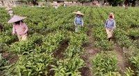 Koronavirusas smogė Indijos arbatos industrijai: regi milžinišką nuopolį produkcijoje (nuotr. stop kadras)