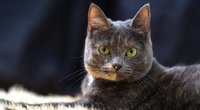 Katė  (nuotr. Shutterstock.com)
