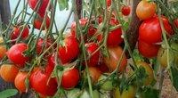 Pomidorai