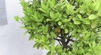 Citrusiniai augalai (nuotr. stop kadras)