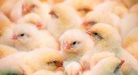 Viščiukai (nuotr. Fotodiena.lt)