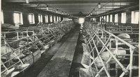 """""""Laisvės"""" kolūkio kiaulių ferma  (nuotr. Wikipedia)"""