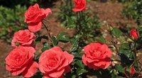 Rožių krūmas (nuotr. 123rf.com)