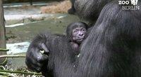 Goriliukas (nuotr. stop kadras)