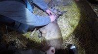 Panevėžio aplinkosaugininkai išlaisvino prirakintą grandine stirniuką (nuotr. Aplinkos apsaugos departamentas)