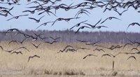 Išskrenda paukščiai (nuotr. stop kadras)