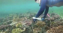Koralų atkūrimo aktyvistė: mano pačios tėvai darė žalą koralų rifui