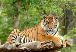 Nelaimė Kalvarijoje: privačiame zoologijos parke tigras nukando moteriai pirštą