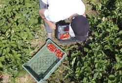 Ūkininkams trūksta sezoninių darbuotojų: lietuvių nevilioja ir 1000 eurų alga