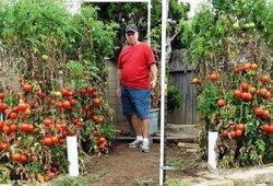 Pomidorų augintojas rekomenduoja šias trąšas: pats netikėjo, kad jos tokios geros