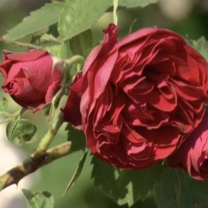 Kauno botanikos sode svaigsta galva nuo rožių aromatų