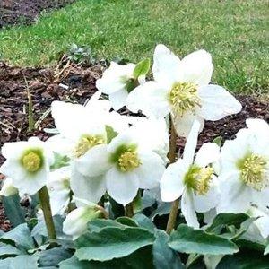Gamtos išdaigos biržietės darže: vidury žiemos pražydo mylimiausia gėlė