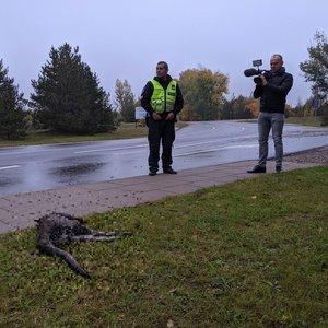Liūdnas Vilniuje pasprukusios kengūros likimas – žuvo po automobilio ratais