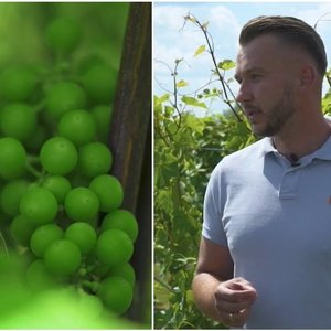 Biržietis pamėgo vynuoges: pasakė, kokių sąlygų joms reikia