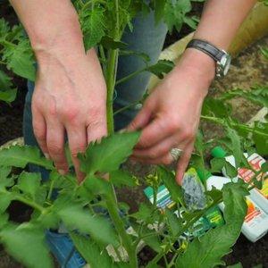 Laukiantiems pomidorų – naudingi patarimai, kad derlius būtų gausesnis