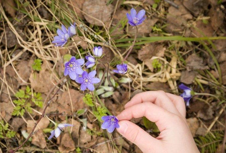 Pavasarį pražydusios žibutės žmones vilioja pasivaikščiojimams miške (nuotr. 123rf.com)