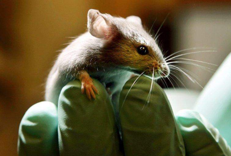 Laboratorinė pelė (nuotr. Scanpix)