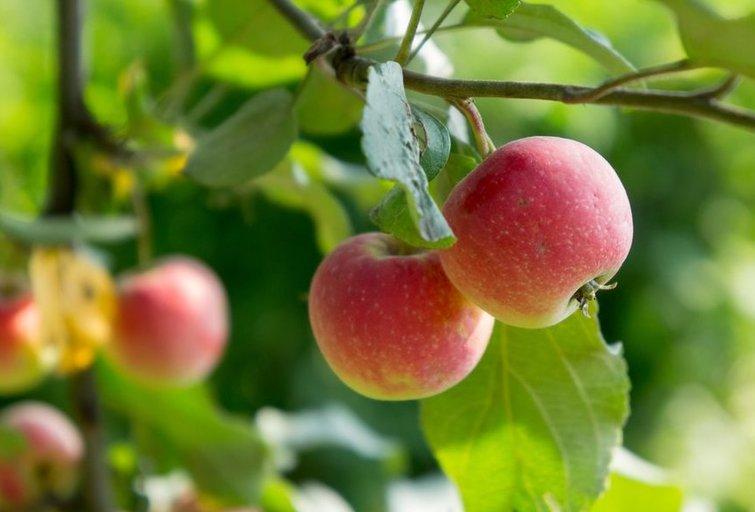 Augantys obuoliai  (nuotr. Shutterstock.com)