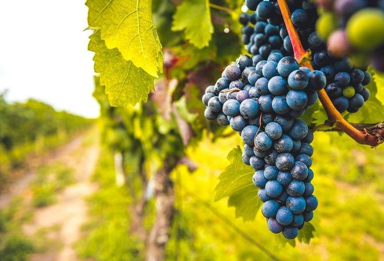 Vynuogės (nuotr. Shutterstock.com)
