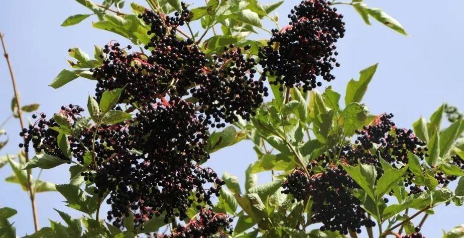 Juoduogis šeivamedis (Sambucus nigra L.) priklauso putininių (Viburnaceae Raf.) šeimai
