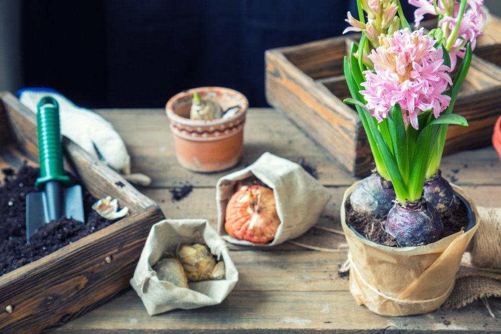 Kvapnieji hiacintai, tulpės, krokai, narcizai ar snieguolės puikiai auga ir namų sąlygomis