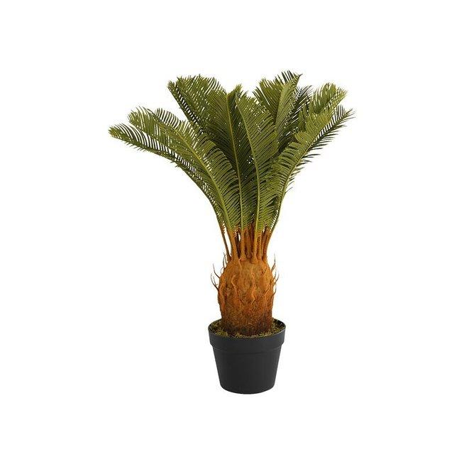 Sago palm augalas (Nuotr. Anglija Today)