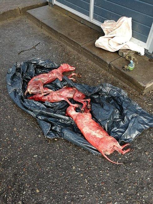 negyvi šunys