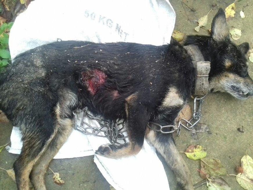 Vilkų sužalotas Jovitos šuo (nuotr. skaitytojo)