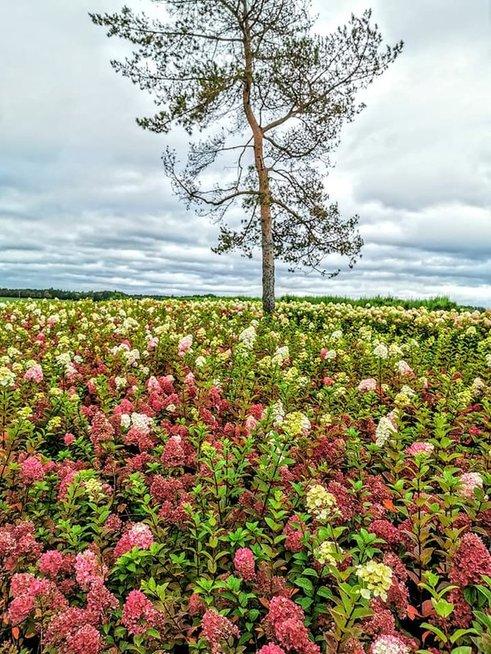 Panevėžietis įkūrė hortenzijų parką: čia plūsta iš visos Lietuvos (S. Nakučio nuotr.)