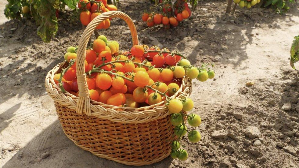 Specialistai įvardino, kurias pomidorų rūšis galima auginti lauke