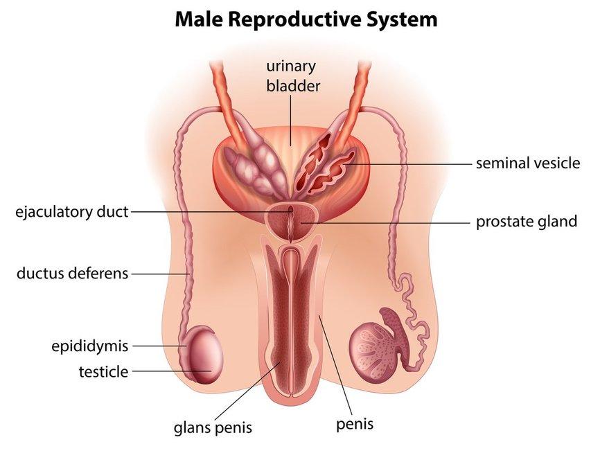 Vyro lytinis organas (nuotr. 123rf.com)