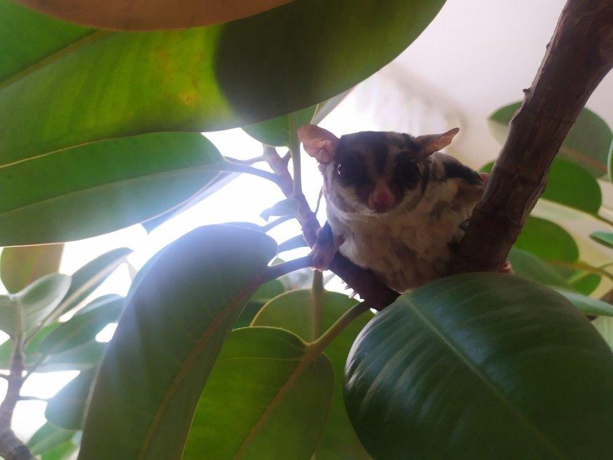 Kaunietė namuose augina voveres skraiduoles