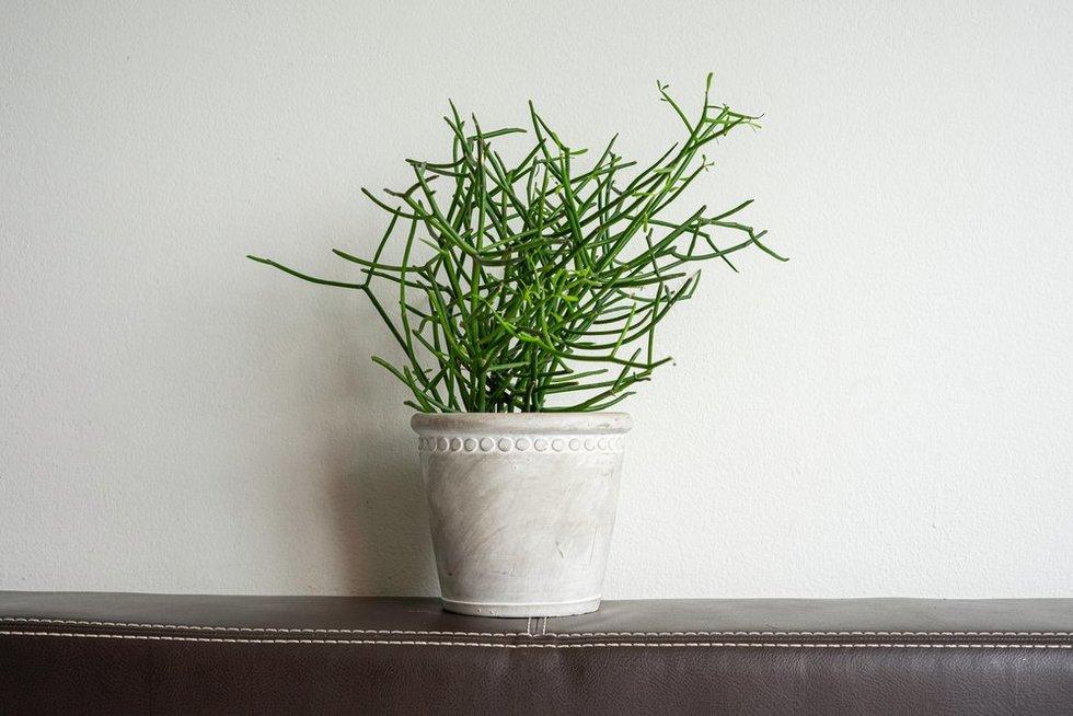 Lazdelinė karpažolė