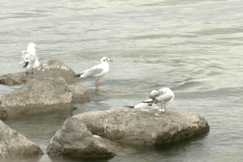 Baltijos jūra – viena labiausiai užterštų: joje jau ir žuvys keičia lytį (nuotr. stop kadras)