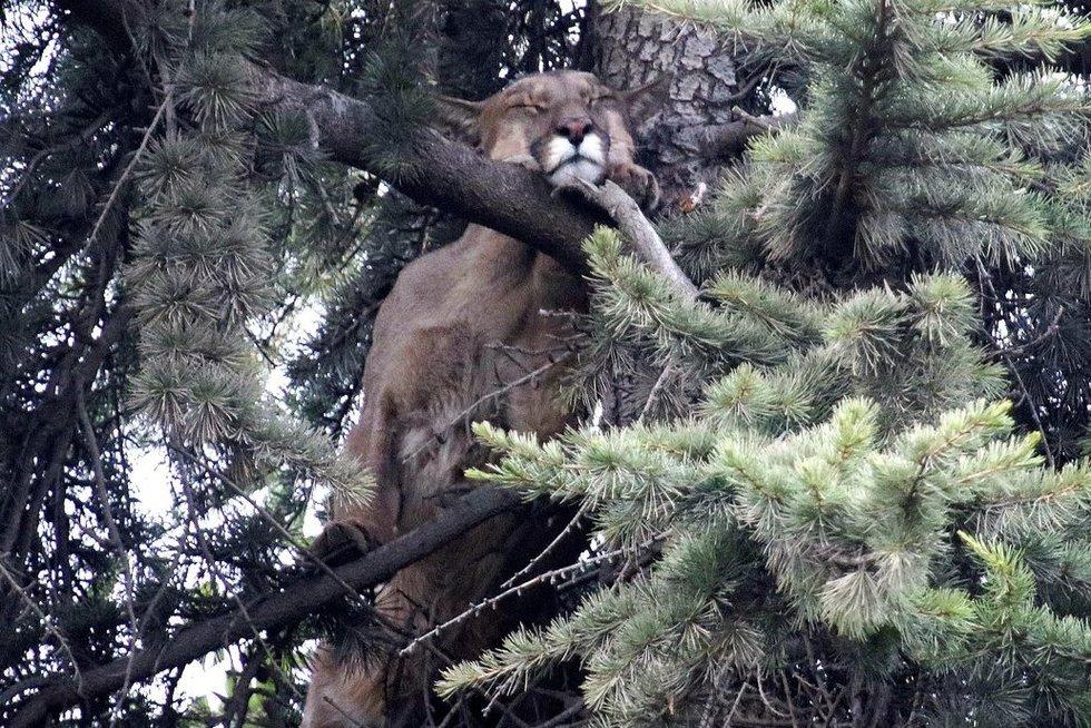 Čilėje – prikaustanti medyje įstrigusios pumos gelbėjimo operacija (nuotr. SCANPIX)