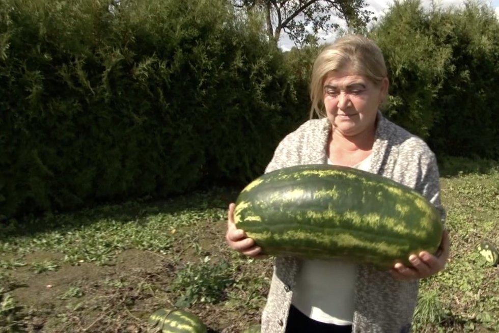 Lietuvoje – arbūzo rekordas: sunoko iki 17 kilogramų  (nuotr. stop kadras)