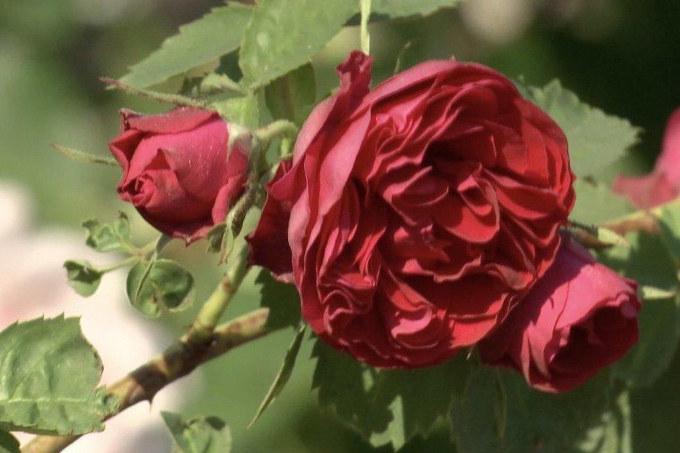 Kauno botanikos sode svaigsta galva nuo rožių aromatų (nuotr. stop kadras)