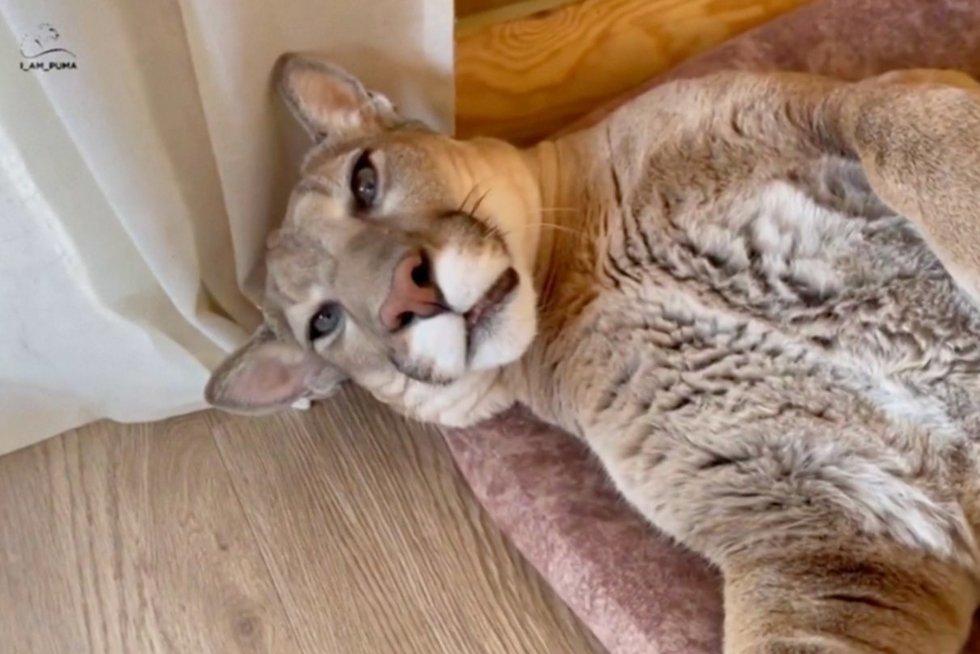 Bute augina pumą: plėšrus keturkojis net mielesnis nei naminės katės (nuotr. stop kadras)