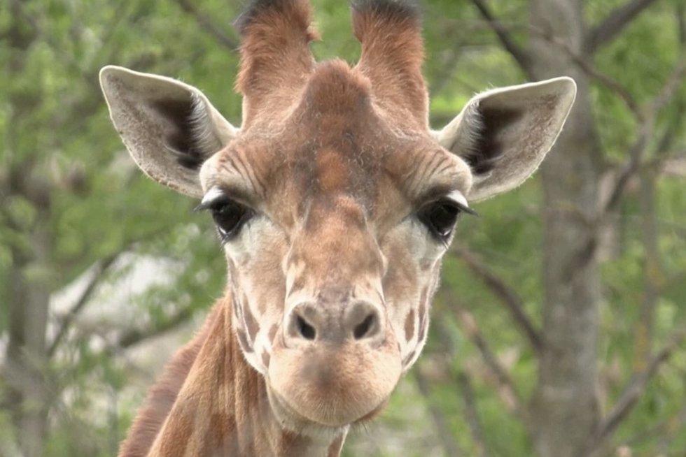 Duris atveria Paryžiaus zoologijos sodas: karantino metu gimė 60 jauniklių (nuotr. stop kadras)