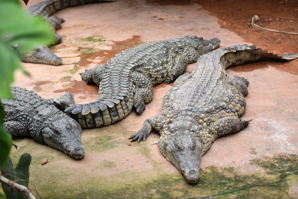 Krokodilai (nuotr. SCANPIX)