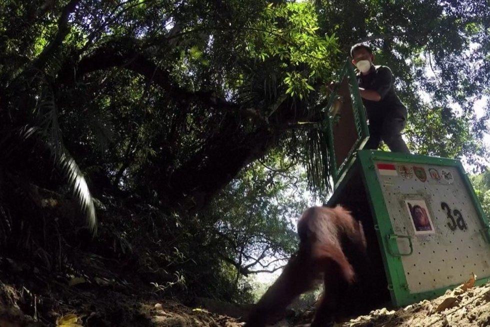Indonezijoje 9 orangutanai perkelti į laukinę gamtą (nuotr. stop kadras)