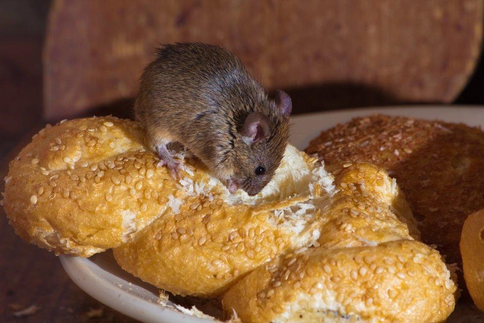 Pelės (nuotr. 123rf.com)