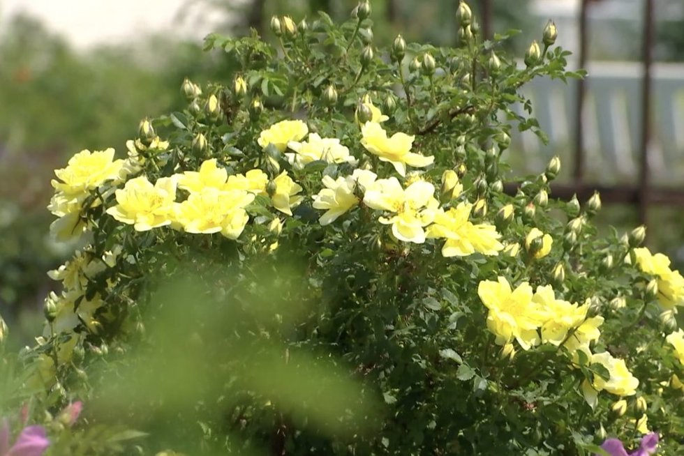 Kauno botanikos sode sužydo pirmosios rožės: kaitinant saulei, lankytojų gausėja (nuotr. stop kadras)