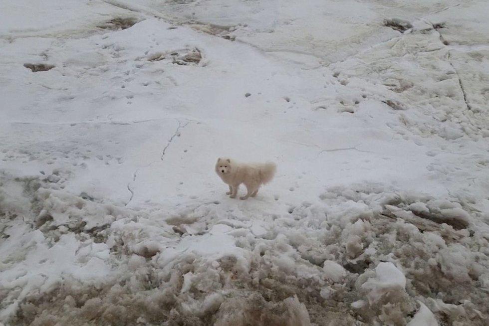 Išgelbėjo šunį Arktyje (nuotr. stop kadras)