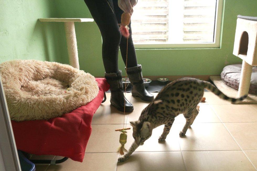Kretingiškė galimai namuose augino laukines kates: toks neatsakingumas kelia grėsmę visai jų populiacijai (nuotr. stop kadras)