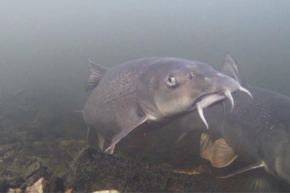 Žirmūnų paplūdimyje į upę paleido 2 tūkstančius žuvų: gaudyti jų nepatartina (nuotr. stop kadras)