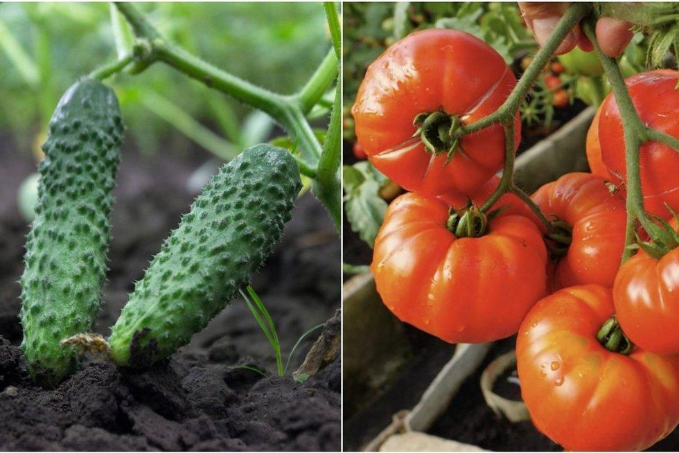 Agurkai ir pomidorai (tv3.lt koliažas)